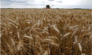 harvestwheat