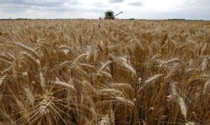 harvestwheat